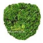 Мох зеленый
