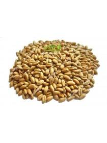 Пшеница сидерат